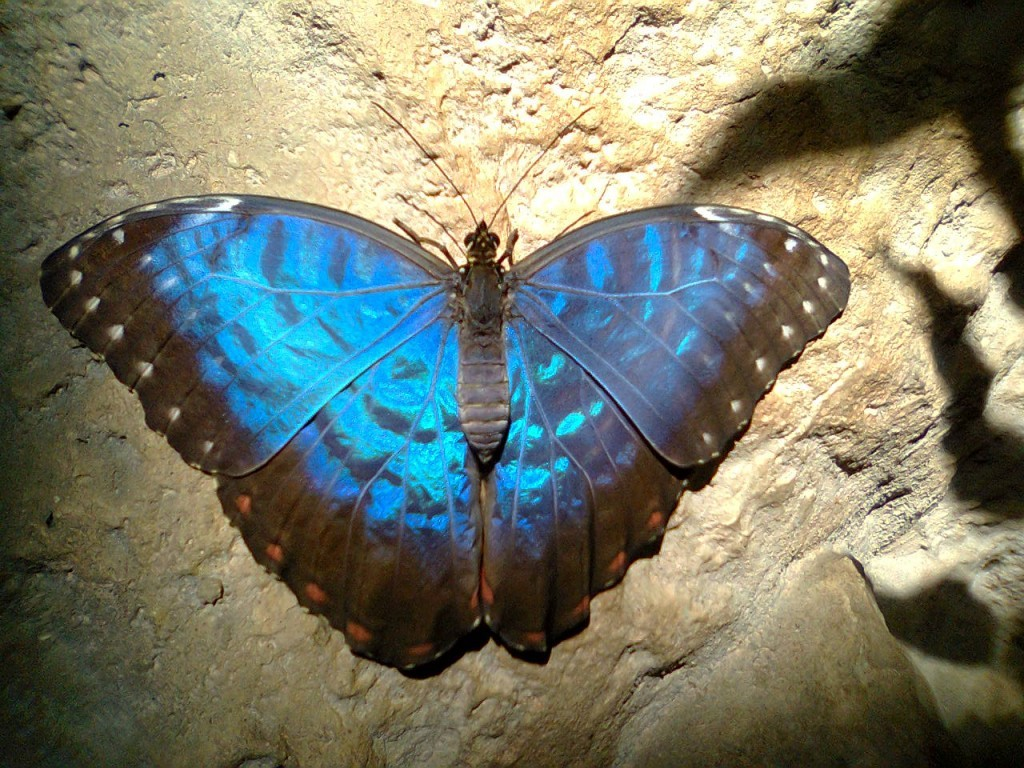 motyle-w-zoo-morpho-peleides-blue