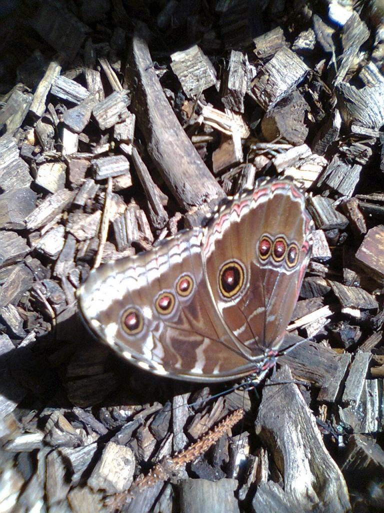 motyle-w-zoo-morpho-peleides