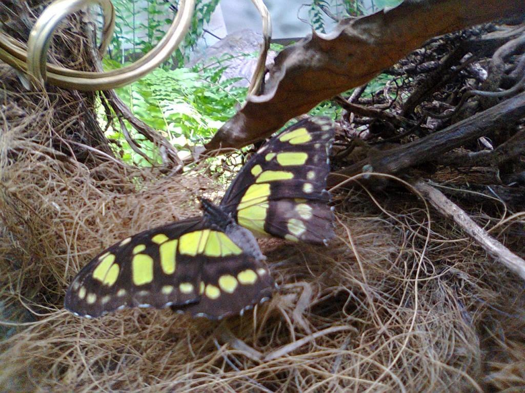 motyle-w-zoo-siproeta-stelenes