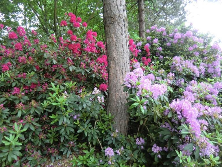30 Days Wild rododendron