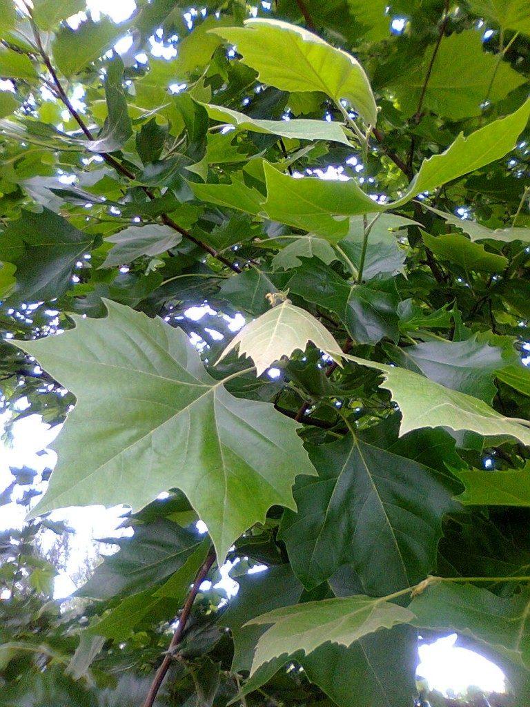 Dzikie Dni drzewo platan