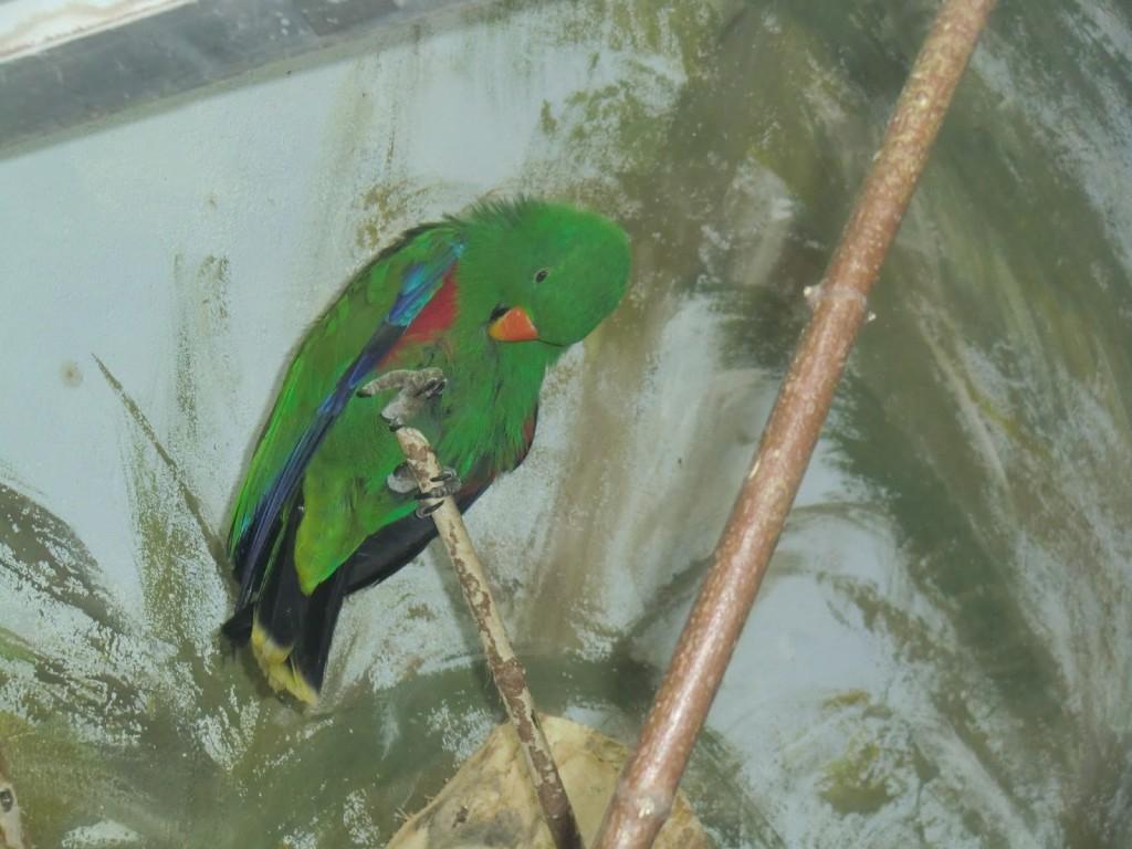 papuga barwnica - samiec