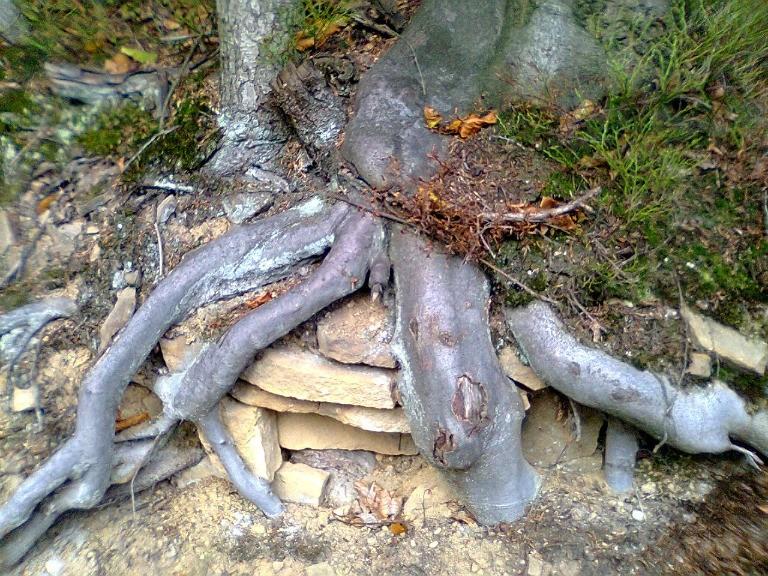 beskid mały korzenia buka