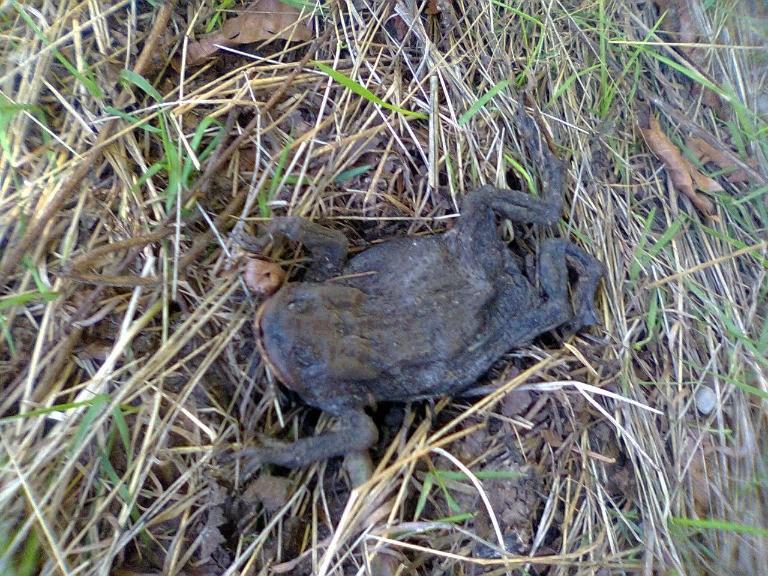 beskid mały zasuszona żaba